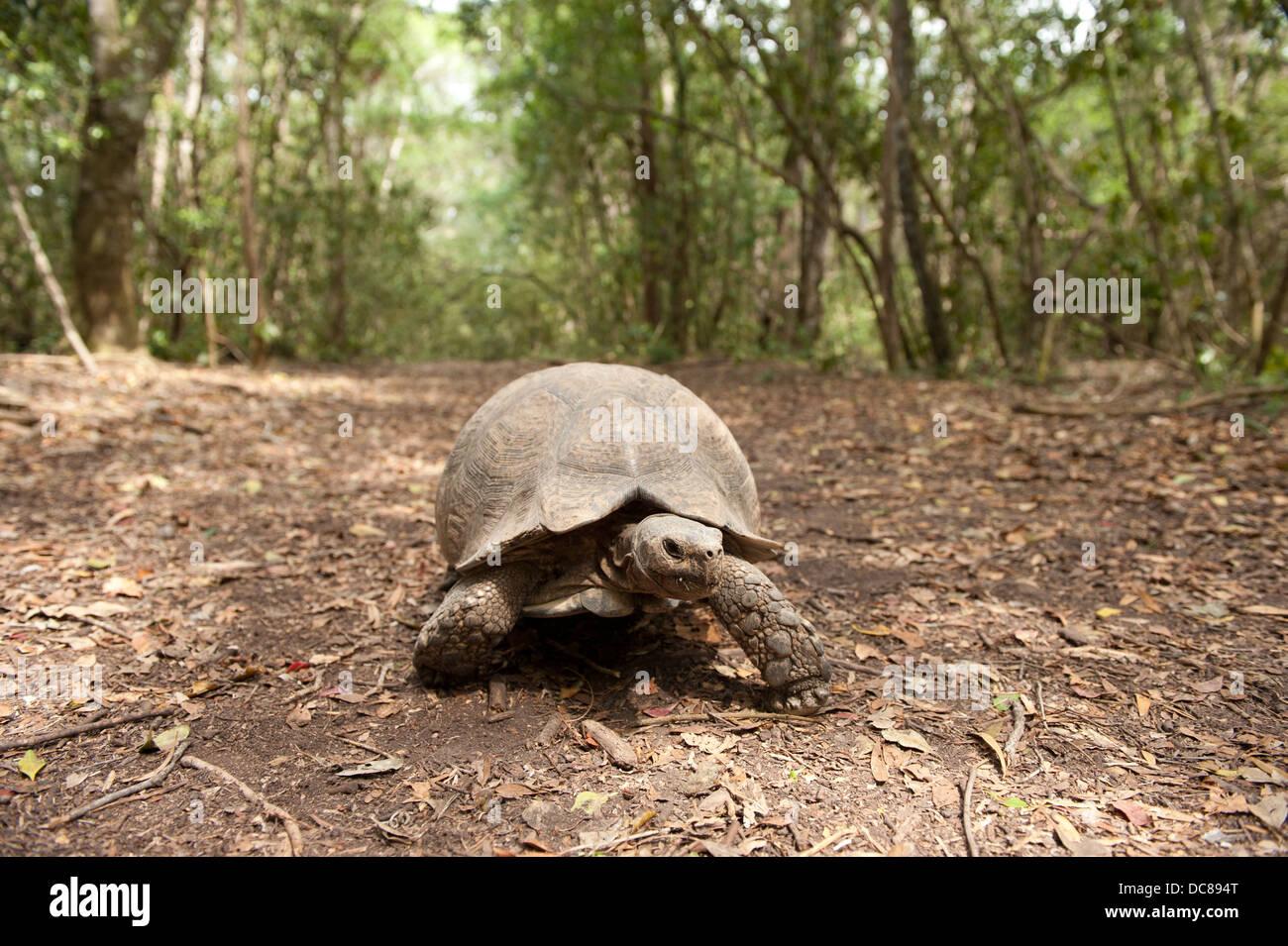 Leopard tortoise (Geochelone pardalis), Plettenberg Bay, South Africa - Stock Image