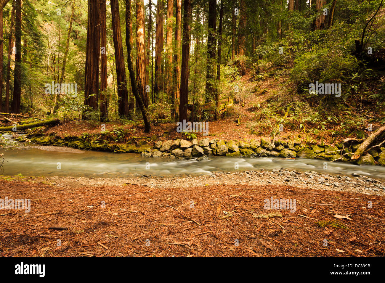 Gently flowing Redwood Creek crosses in front of coastal giant sequoia redwood trees in a forest environment dappled - Stock Image