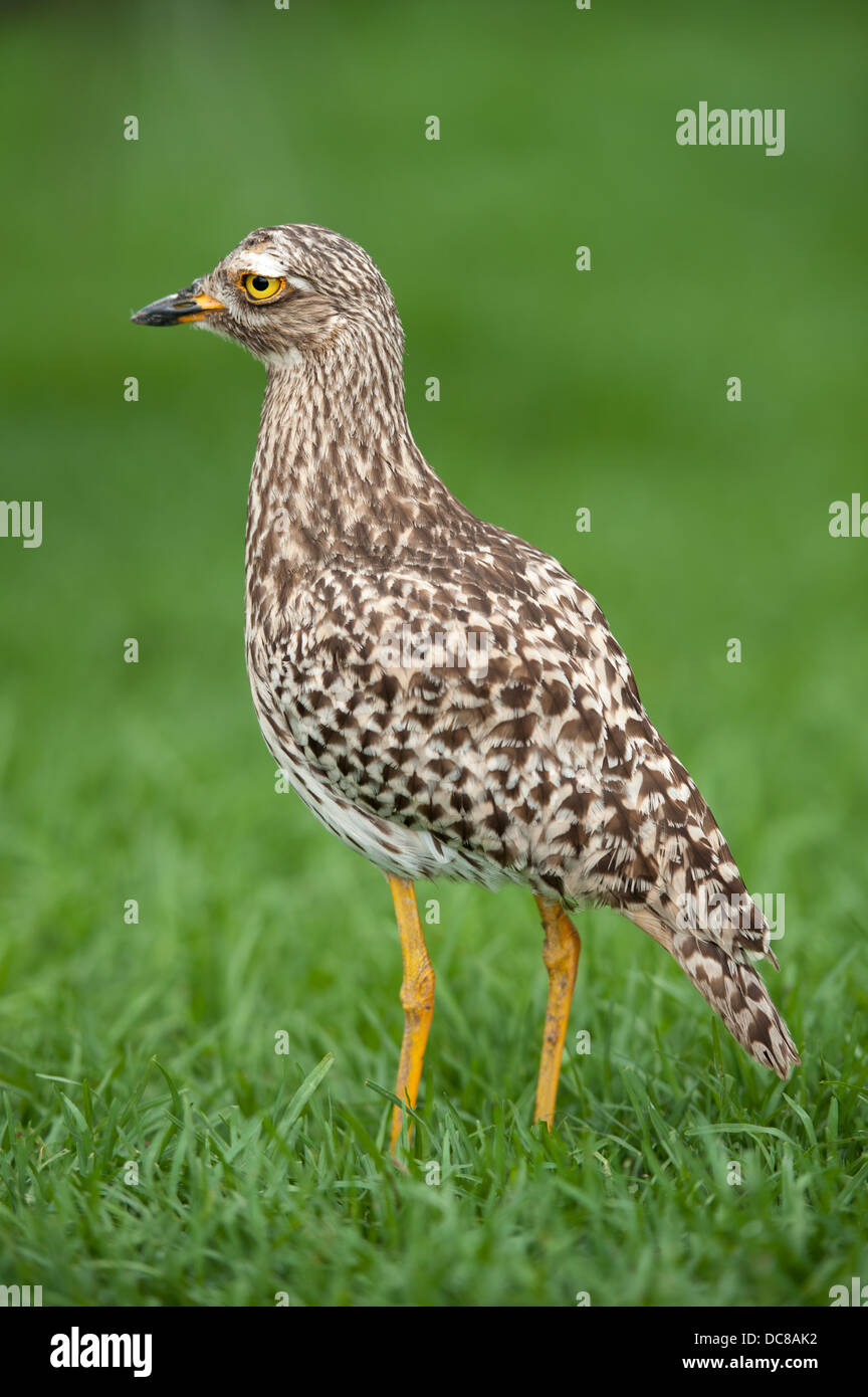 Spotted thick-knee, Burhinus capensis, Birds of Eden, Plettenberg Bay, South Africa - Stock Image