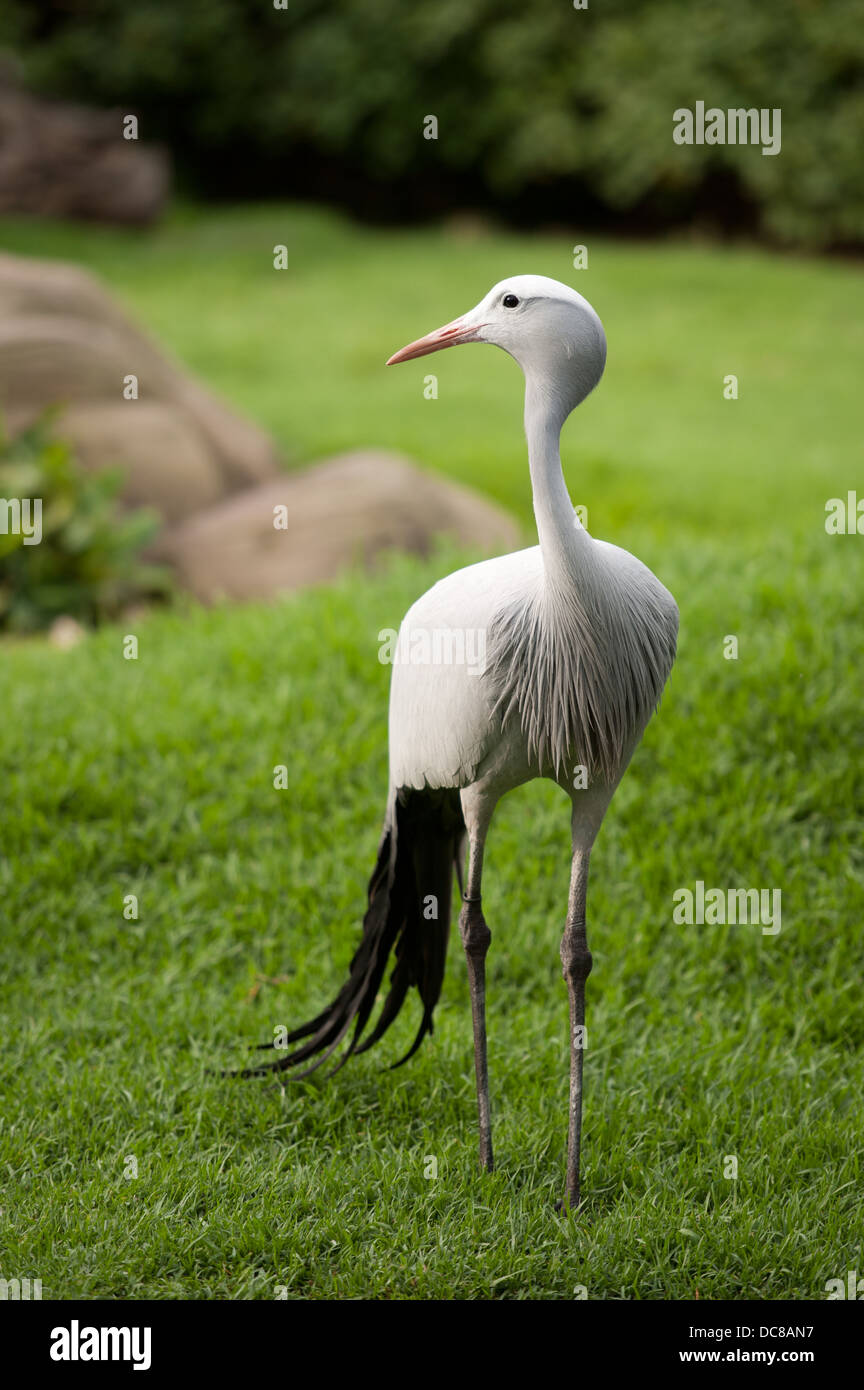 Blue Crane (Anthropoides paradiseus), Birds of Eden, Plettenberg Bay, South Africa - Stock Image