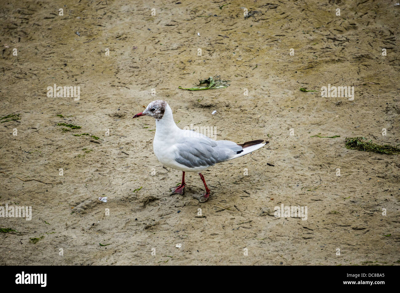 A seagull on the beach at Saint-Valery-sur-Somme, a commune in the Somme department, northern France. - Stock Image