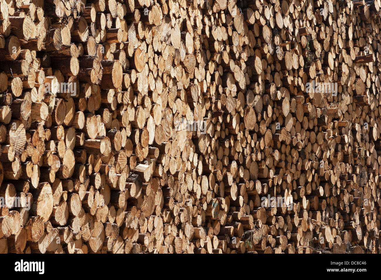 Close view of ends of stacked timber logs of pine wood in forest awaiting transport for commercial use.  Scotland, - Stock Image
