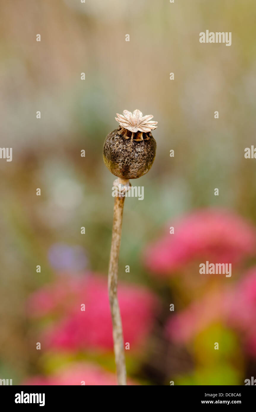 Dry Poppy Flower Head Stock Photos Dry Poppy Flower Head Stock