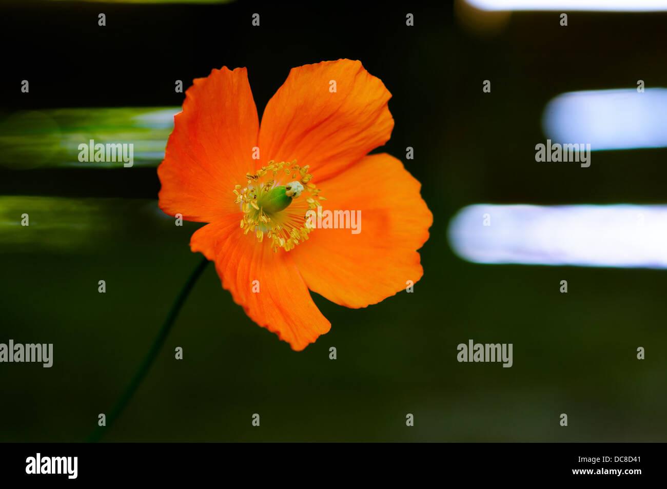 Eschscholzia California poppy wild flower head - Stock Image