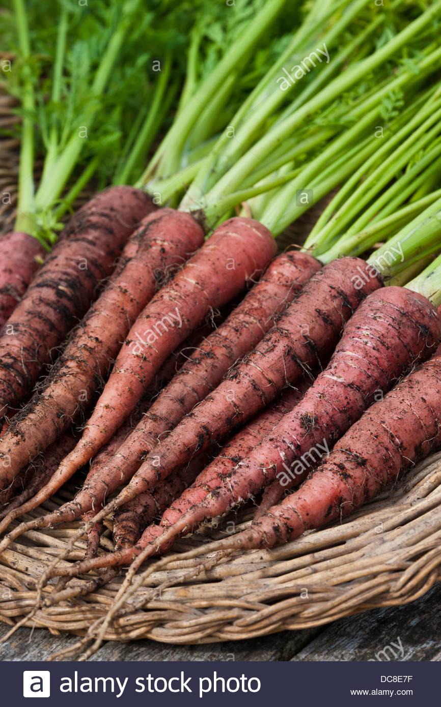 Carrot Atomic Red carota var sativus trug summer fresh freshly harvested pulled home grown organic variety orange - Stock Image