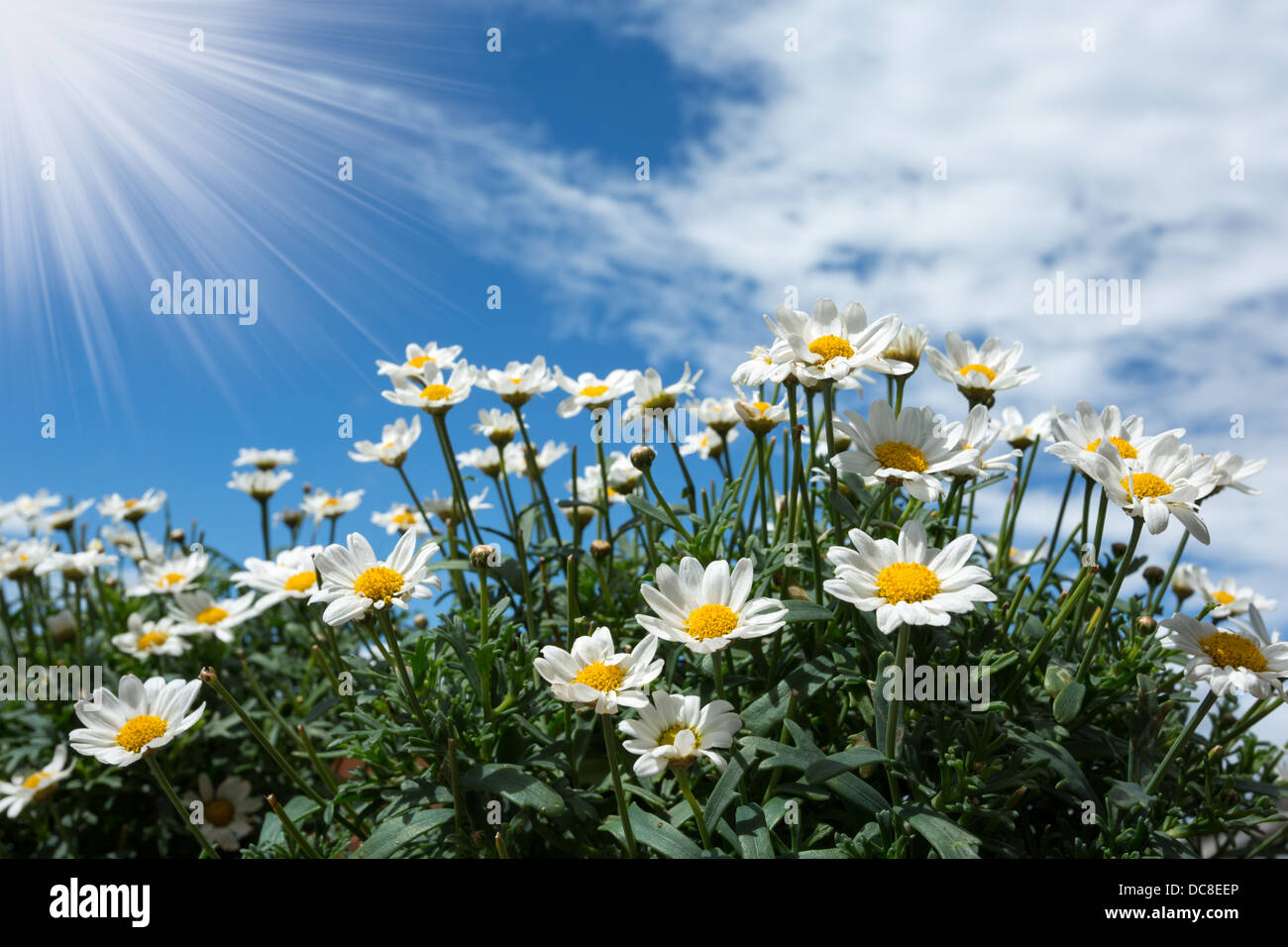 Bright white daisies against a summer sky. - Stock Image