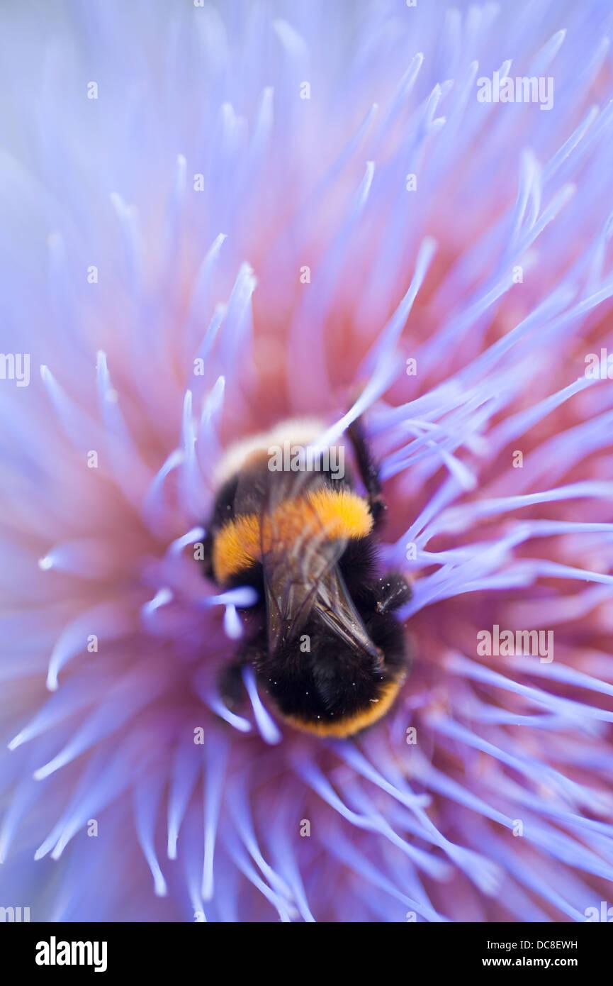 Buff-tailed bumblebee worker, Bombus terrestris, on Cynara cardunculus, Cardoon, in London garden - Stock Image