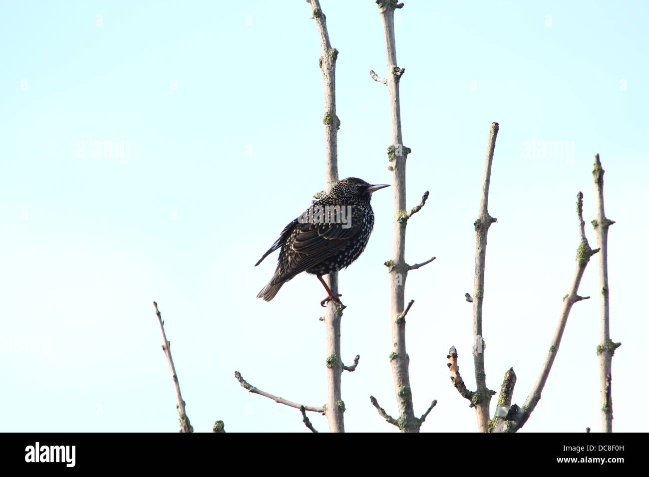 Mature Starling (Sturnus vulgaris) during various seasons, in a field, in a tree, collecting nesting material & - Stock Image
