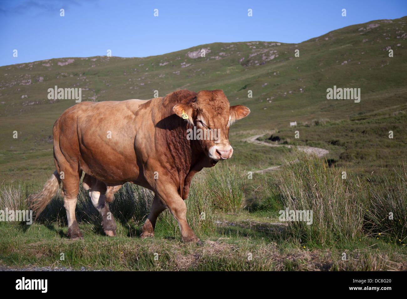 Scottish Devon bull roaming open countryside on the Isle of Skye, Scotland, UK - Stock Image