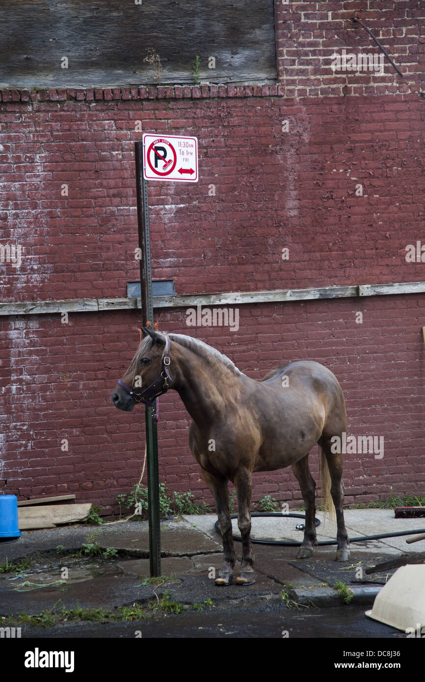 Horse tied to a no parking sign on East 8th St. in Brooklyn, NY at the urban Kensington Stables. - Stock Image