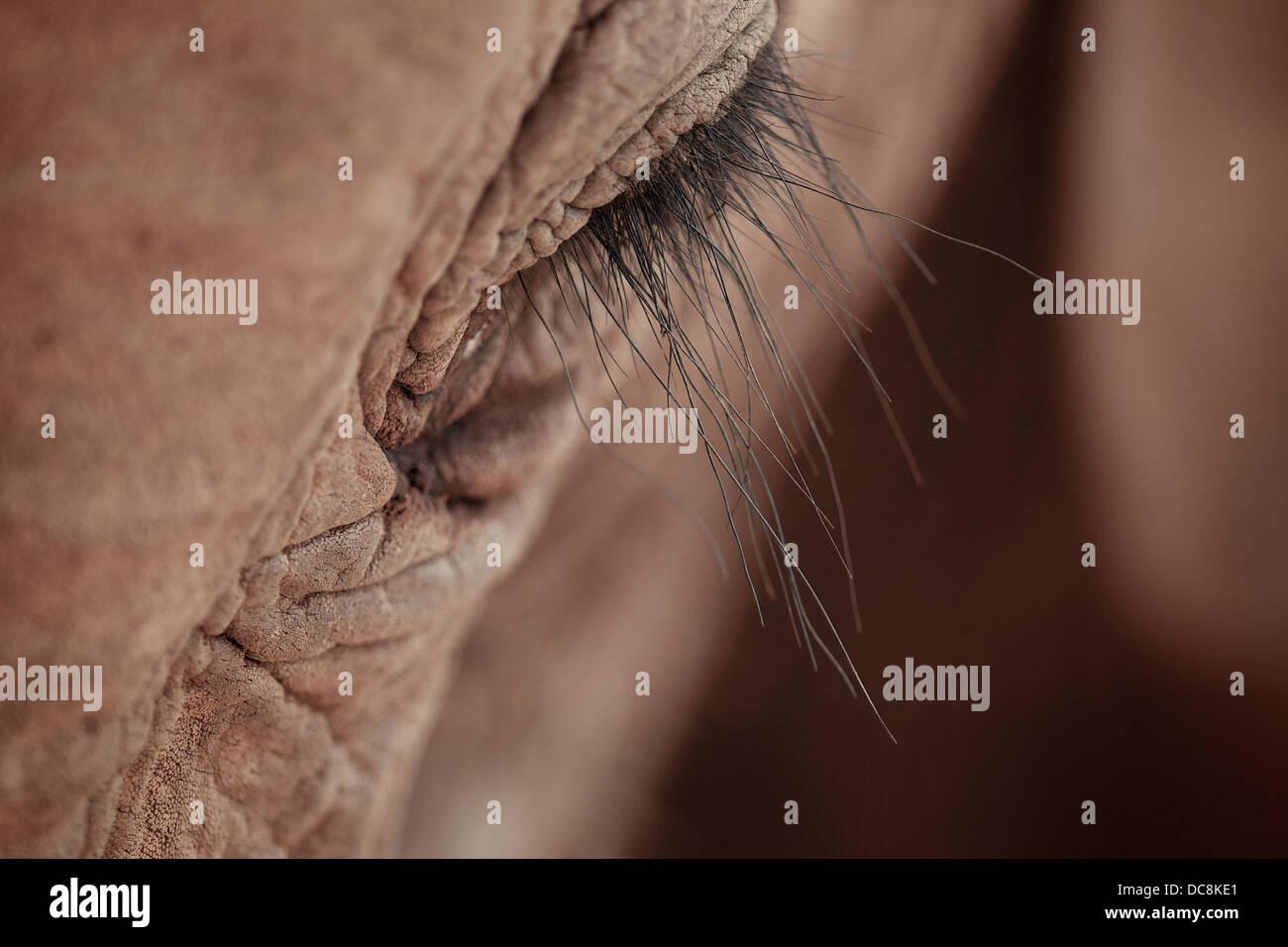 Close up of Eye of African elephant showing eye lash. Tsavo . Kenya Africa - Stock Image