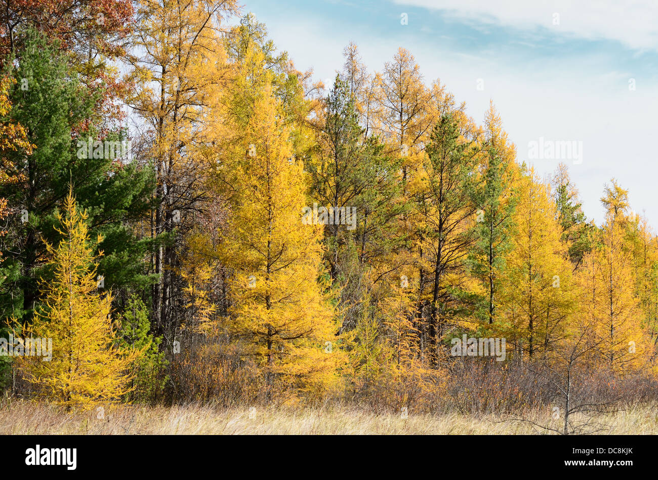 Tamaracks (Larix laricina) - also known as the American Larch in the Fall, USA - Stock Image