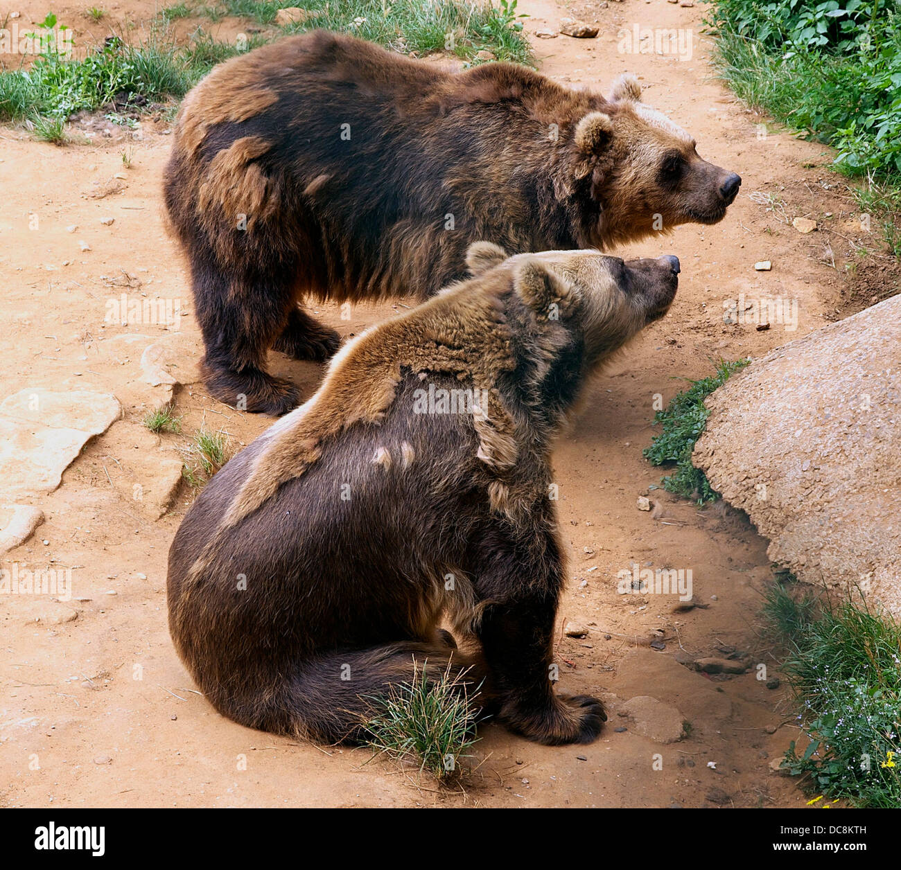 Moulting (molting ?) bears, in the prehistoric site of Le Regourdou in Dordogne, France. - Stock Image