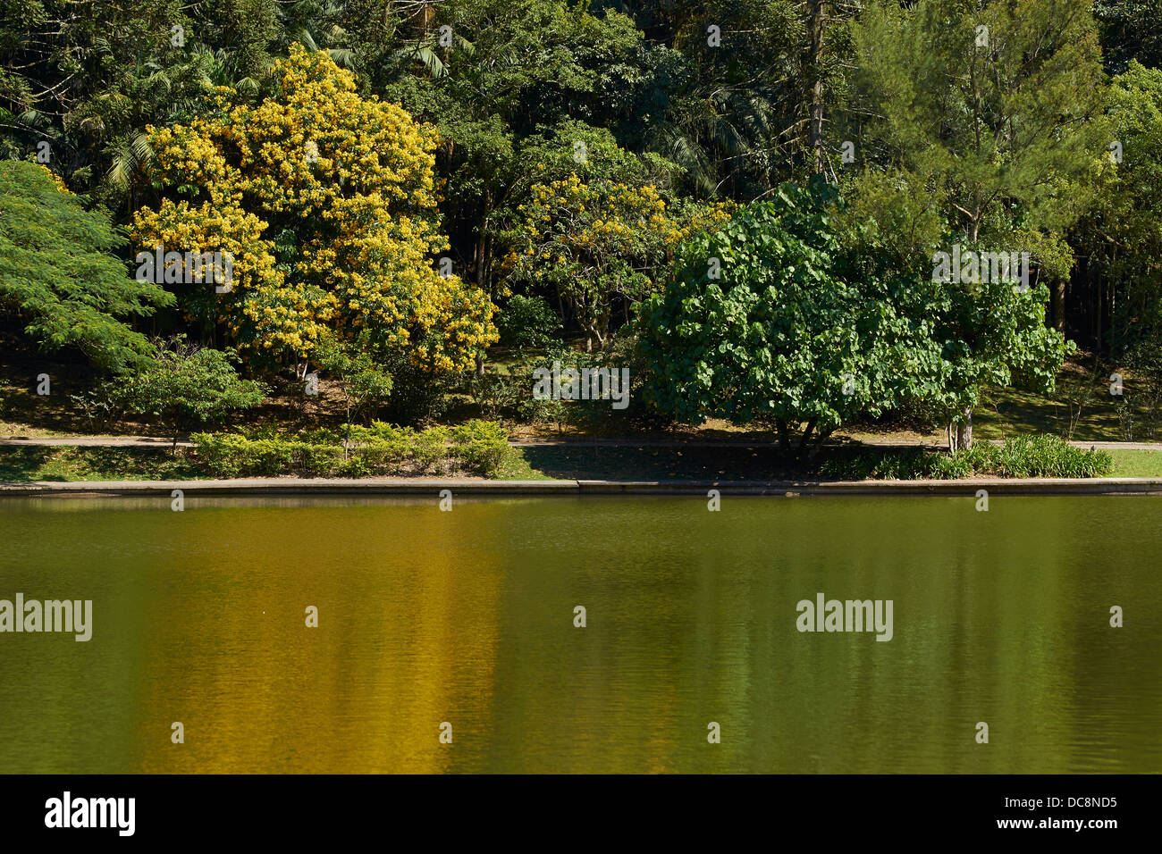 Flowering tree on the banks of a lake in the humid rainforest - Stock Image