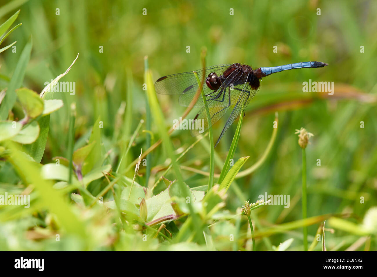 Blue dragonfly on a branch - Stock Image