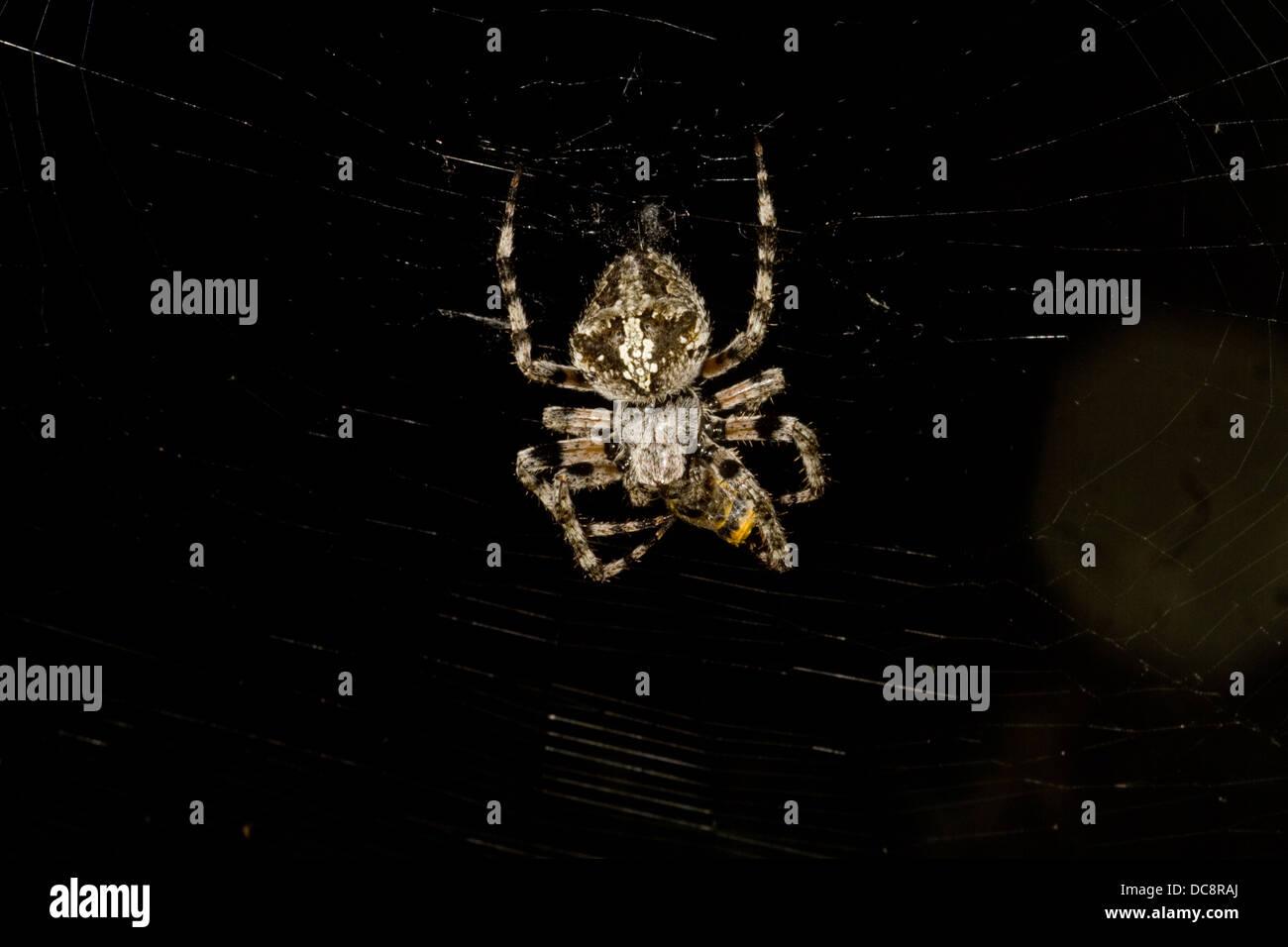 Orb web spider. Corfu - Stock Image