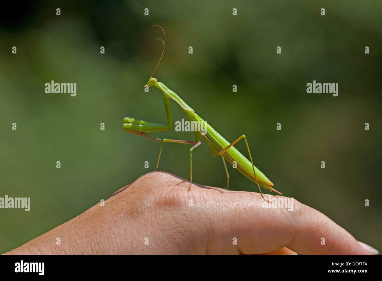 Preying Mants perched on hand. Corfu. Greece. Stock Photo