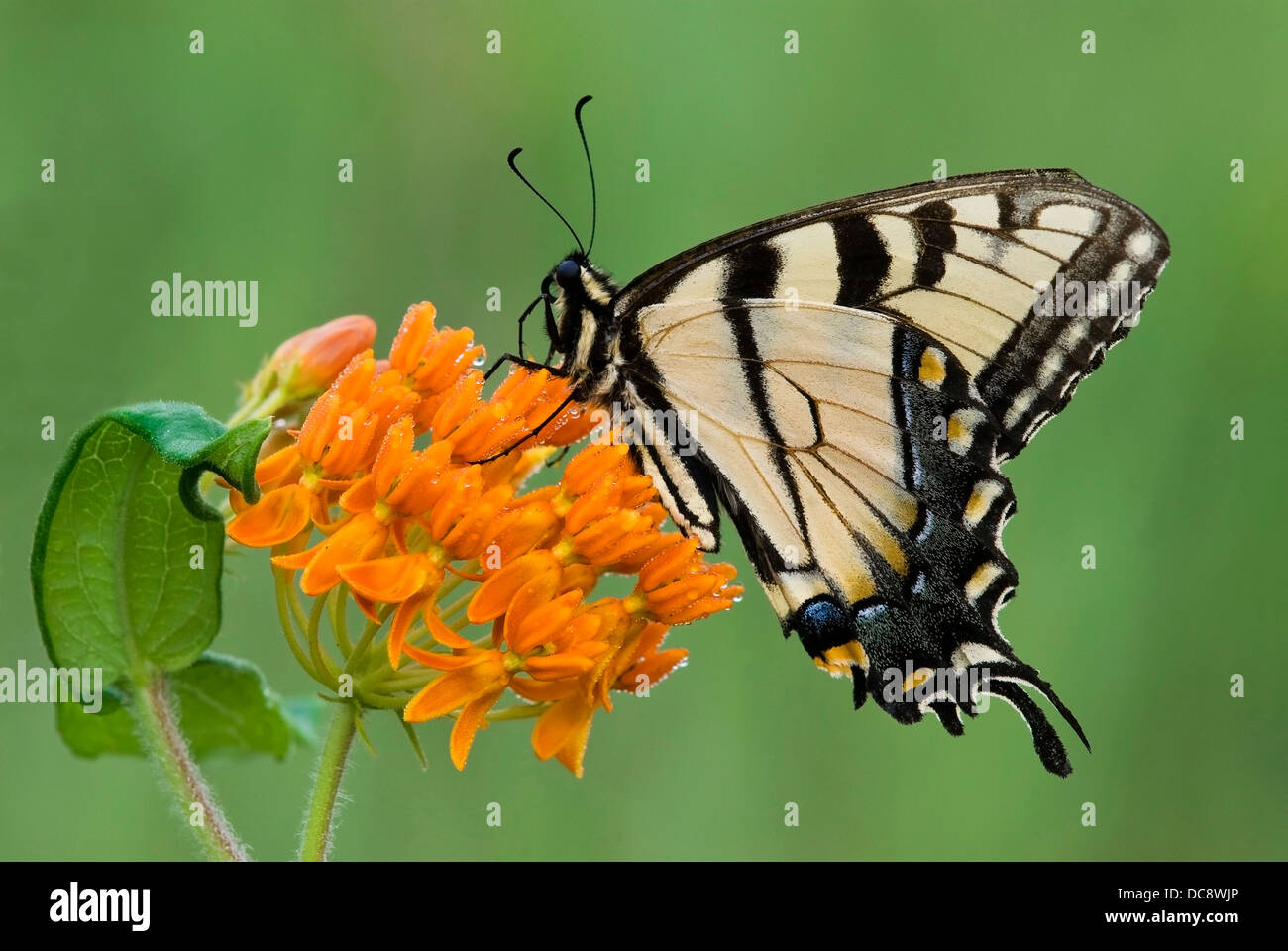 Eastern Tiger Swallowtail Butterfly Papilio glaucus feeding on Butterfly Weed Asclepias tuberosa  E USA Stock Photo