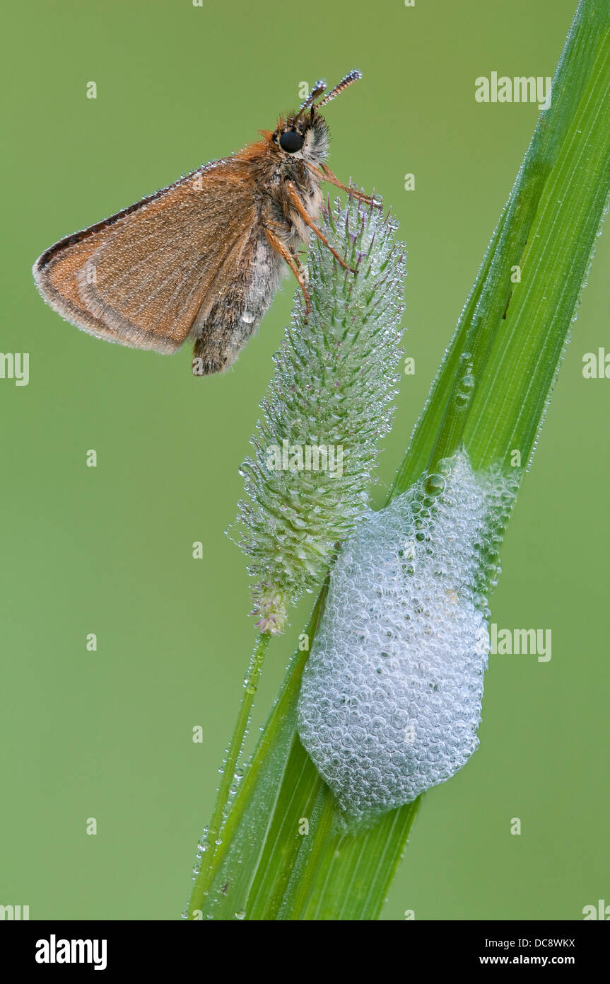 Dewy European Skipper Butterfly Thymelicus lineola and Spittlebug or Froghopper foam, nymphal form Eastern USA - Stock Image