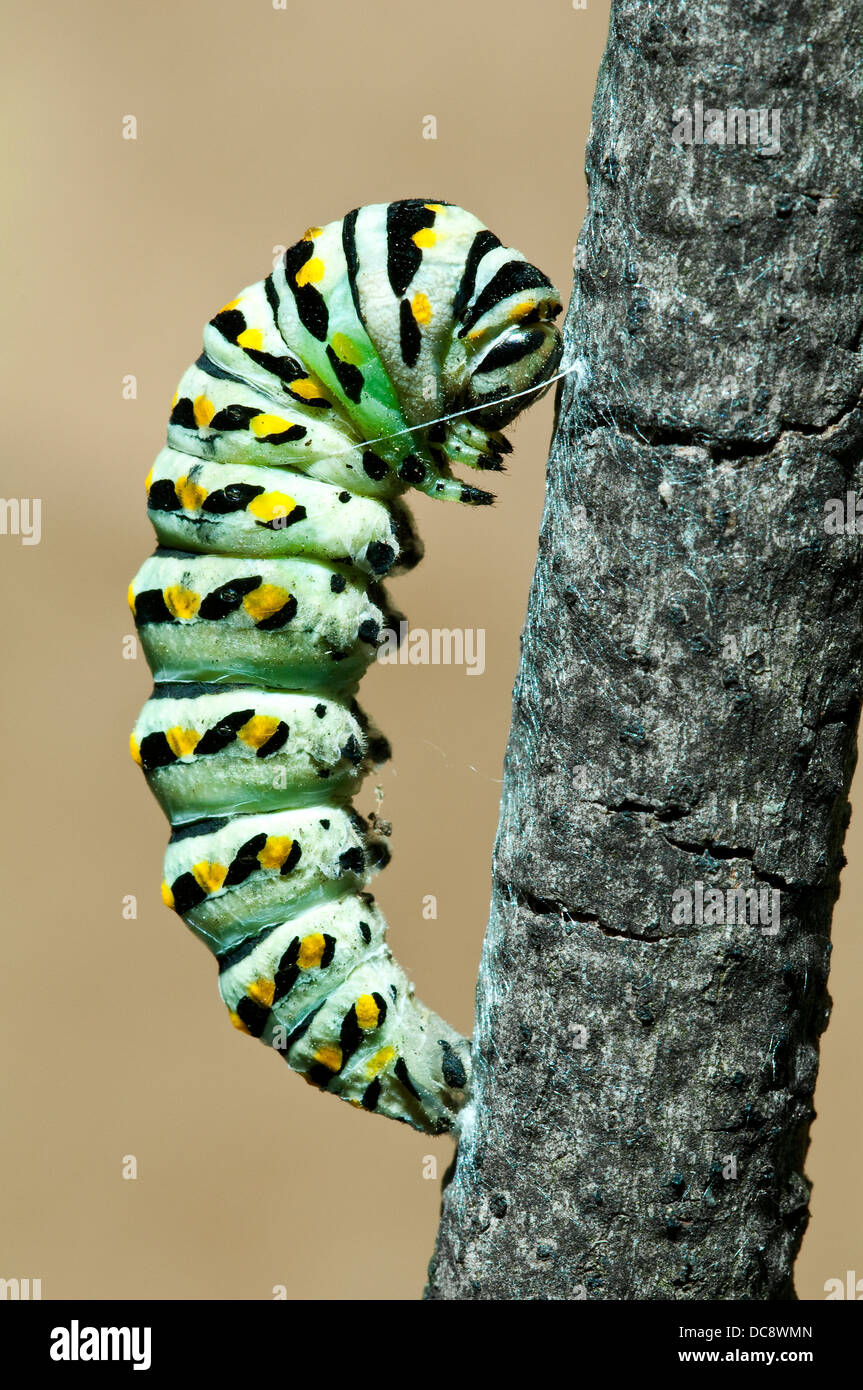 Pre-pupa stage of E Black Swallowtail Butterfly Papilio polyxenes E USA - Stock Image