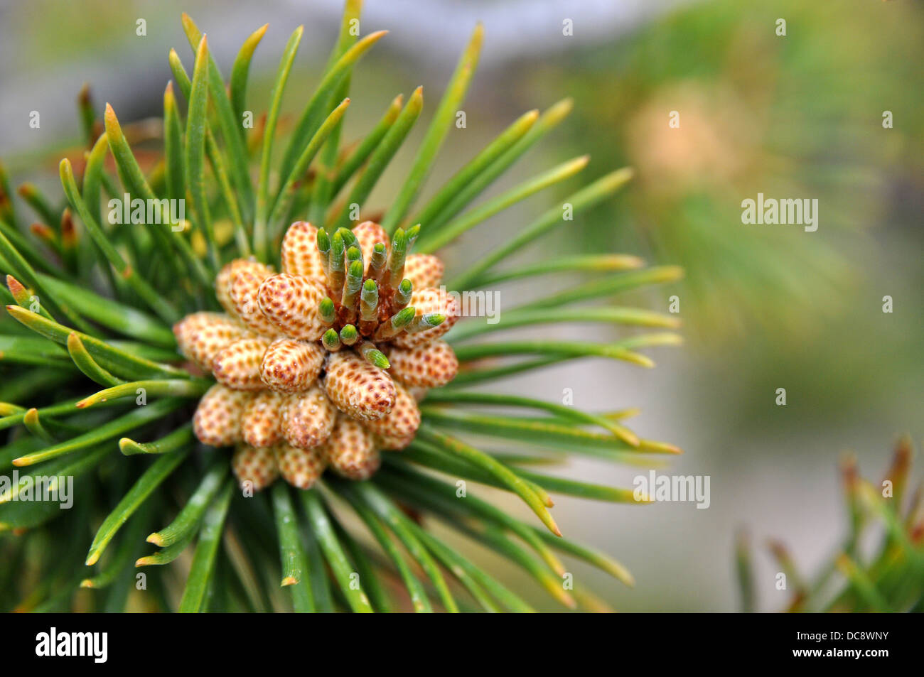 Male cone of a conifer with microstrobilus - Stock Image
