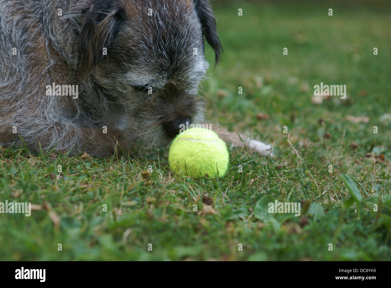 Dog Chewing Tennis Ball Border Terrier Fence Grass Border Terrier