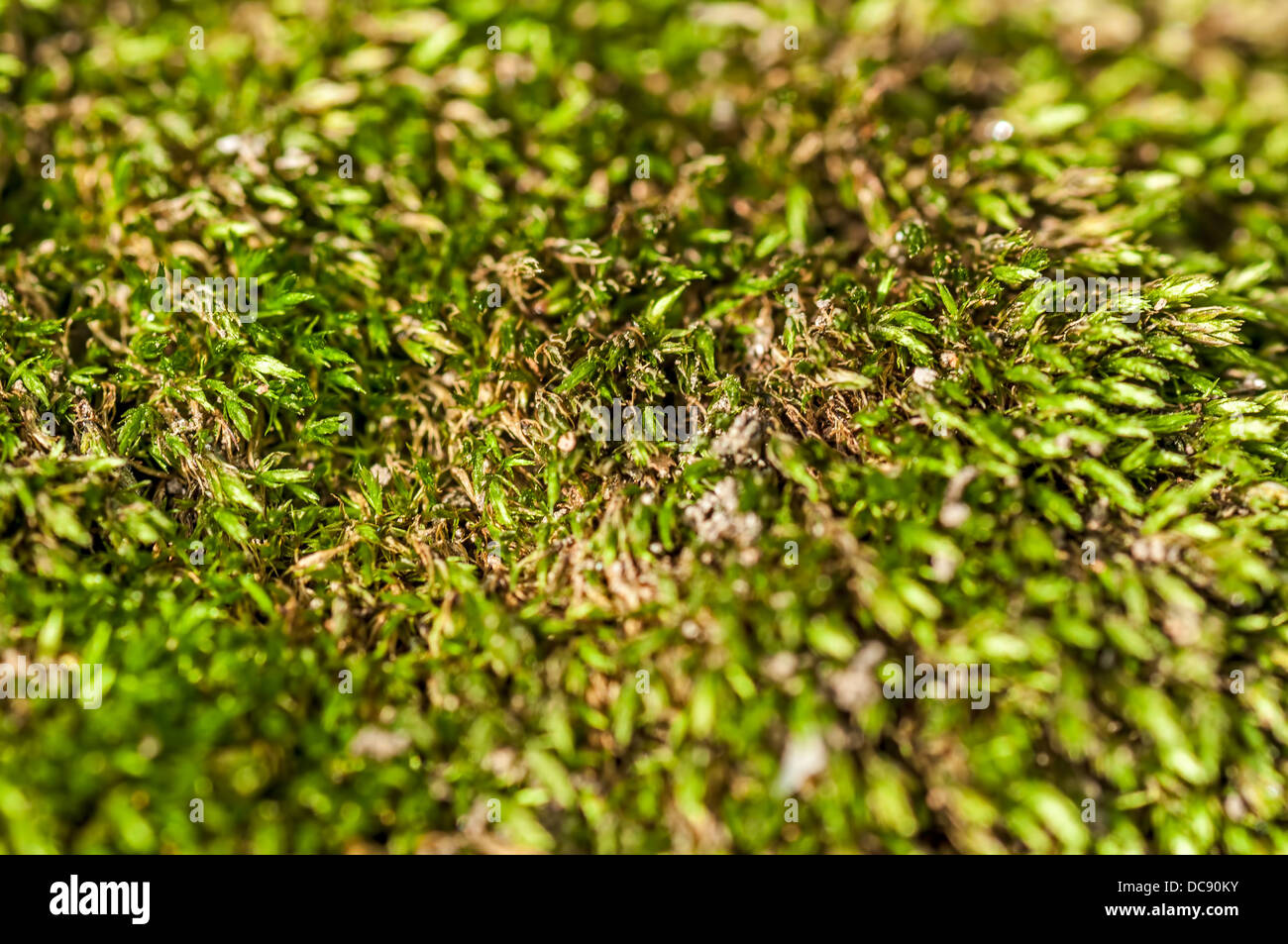Extreme close up of Green moss creating an abstract pattern with copy space - Stock Image