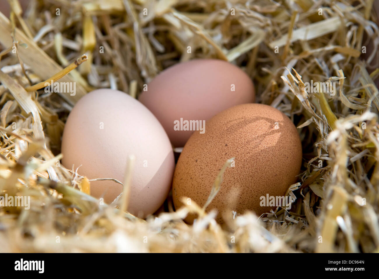 Free range eggs that have just been layed and collected in basket with straw - Stock Image