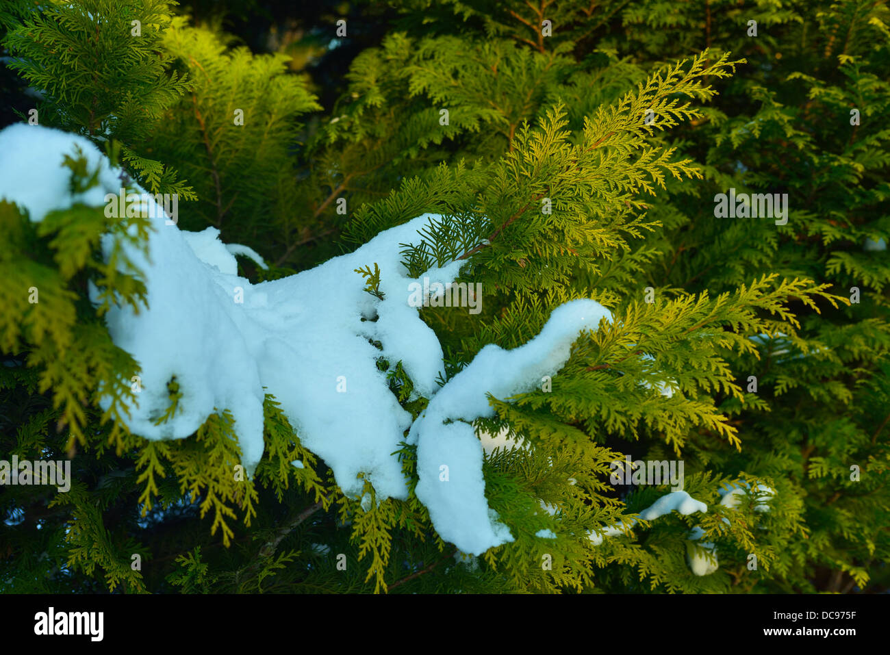 Conifer branches covered by melting snow - Stock Image