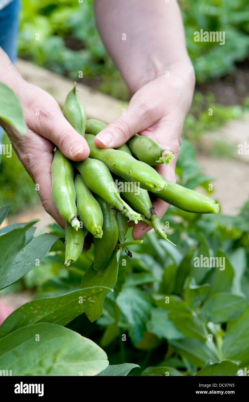 Caucasian woman holding handful of freshly picked home grown broad beans in garden in Bristol, UK - Stock Image