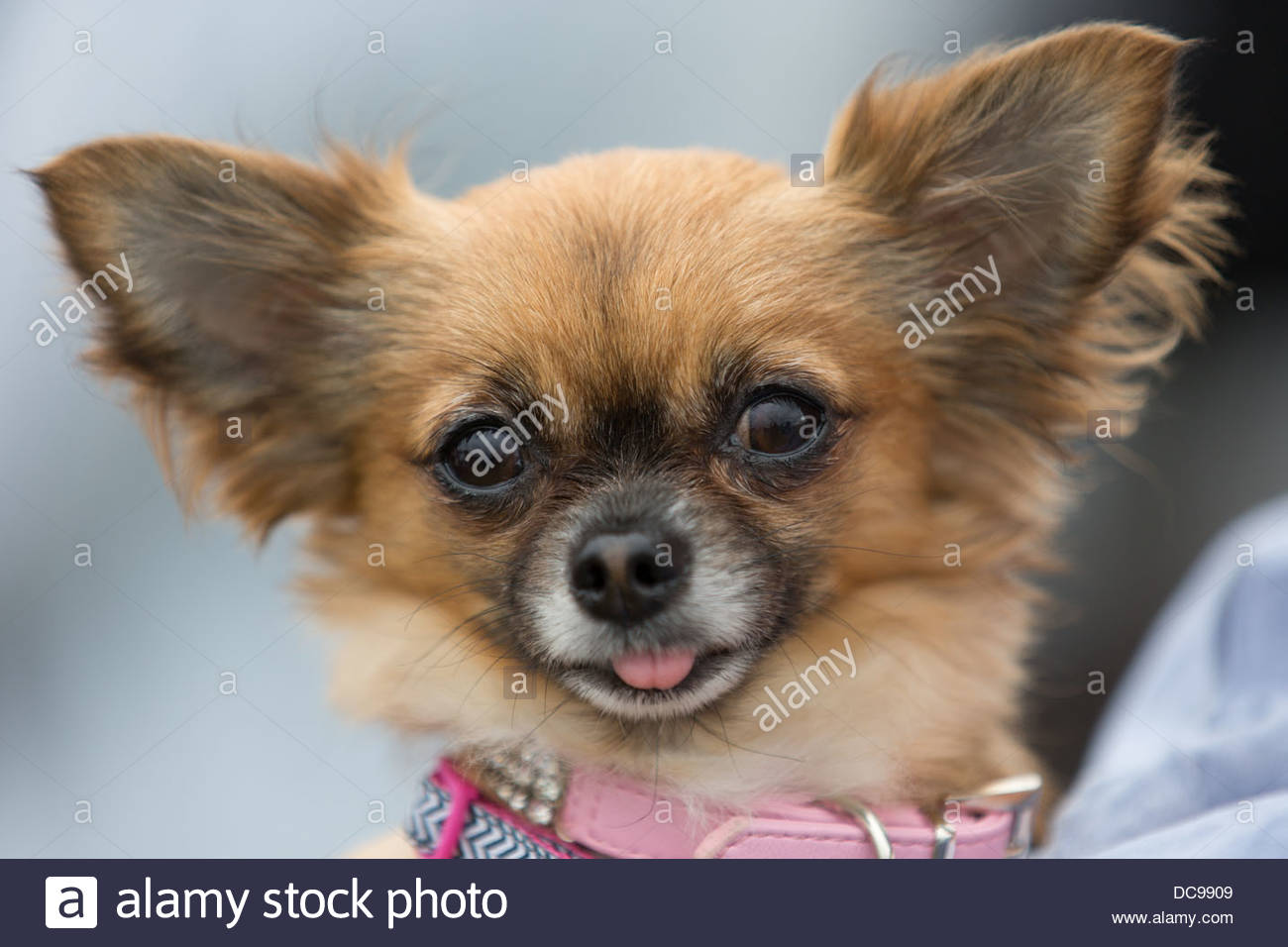 Cute dog with pink collar - Stock Image