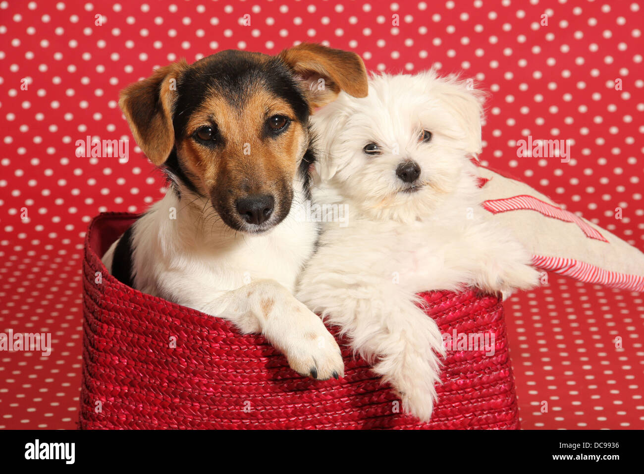 Jack Russell Terrier and Maltese puppy lying in a basket in front of a red background with white polka dots - Stock Image
