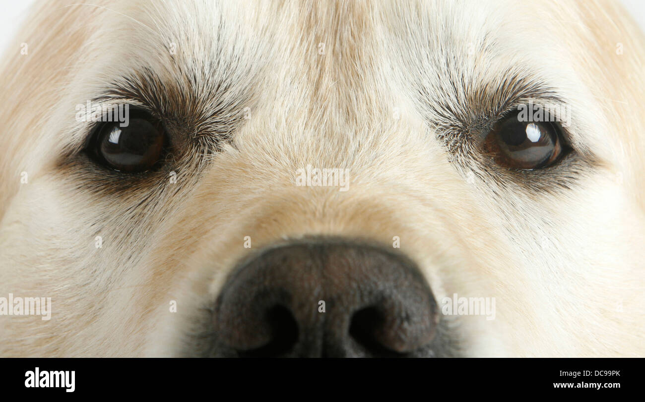 Golden Retriever Close Up Nose And Eyes Adult Stock Photo 59212235
