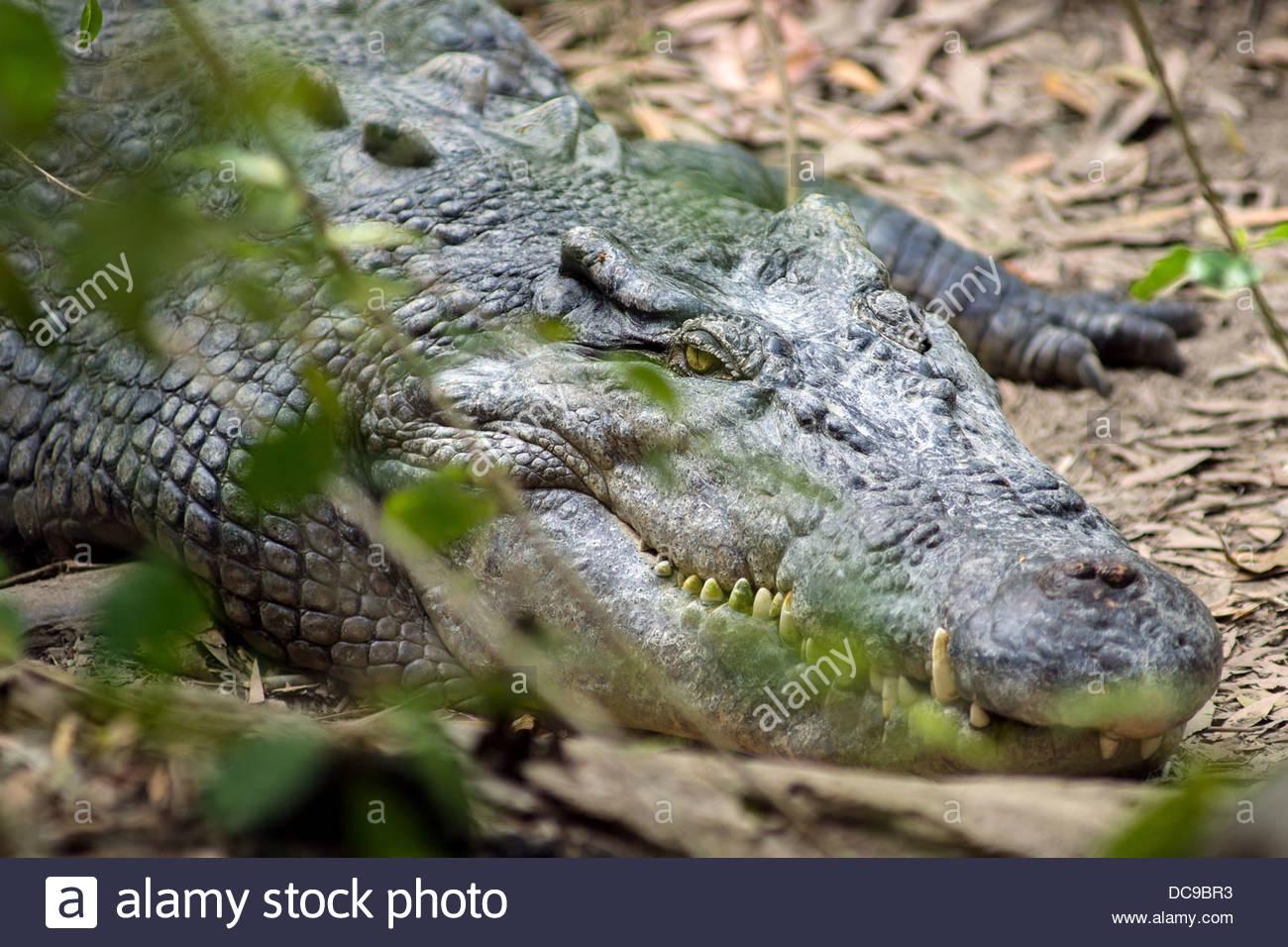 Saltwater crocodile - Crocodylus porosus - also known as saltie, estuarine or Indo-Pacific crocodile - Stock Image