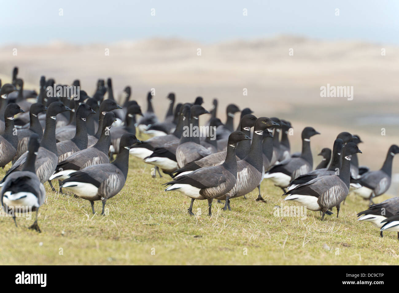 Swarm brent gooses walking in nature grass - Stock Image