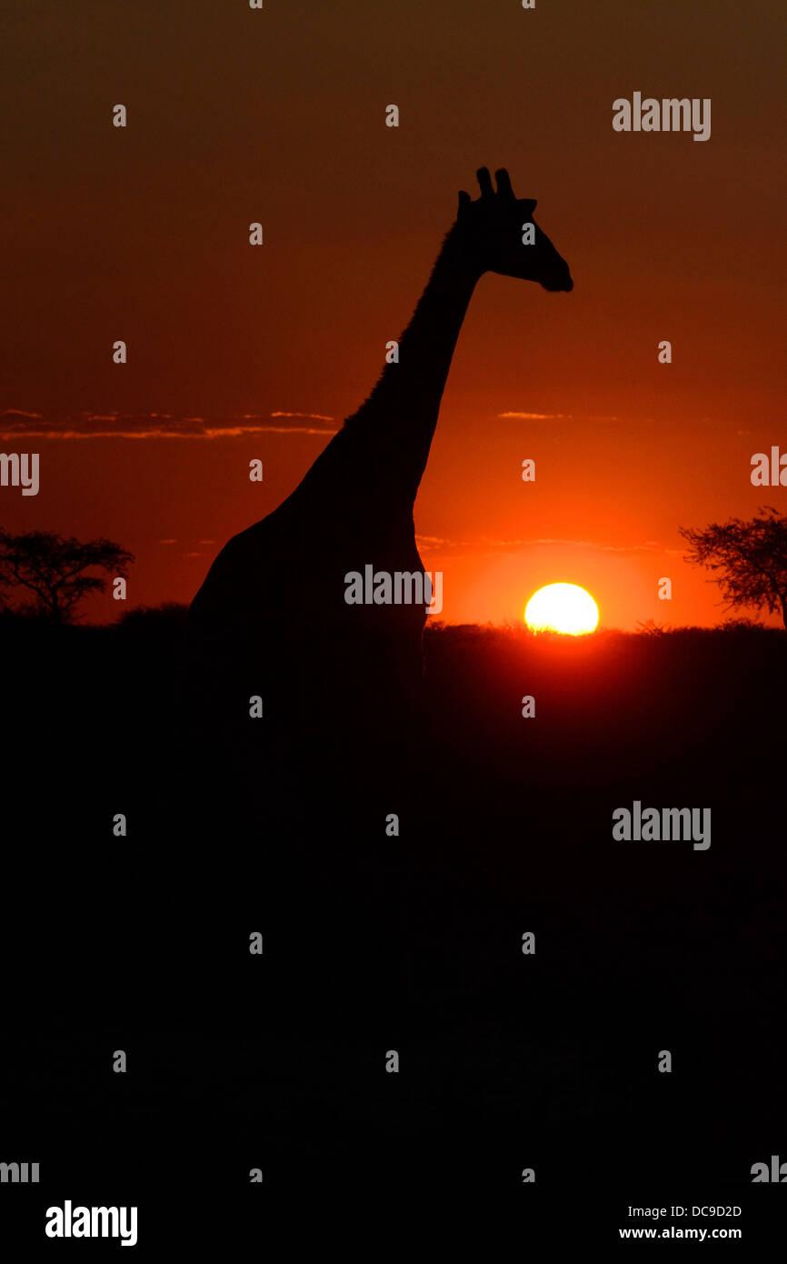 Giraffe (Giraffa camelopardalis) in the sunset - Stock Image