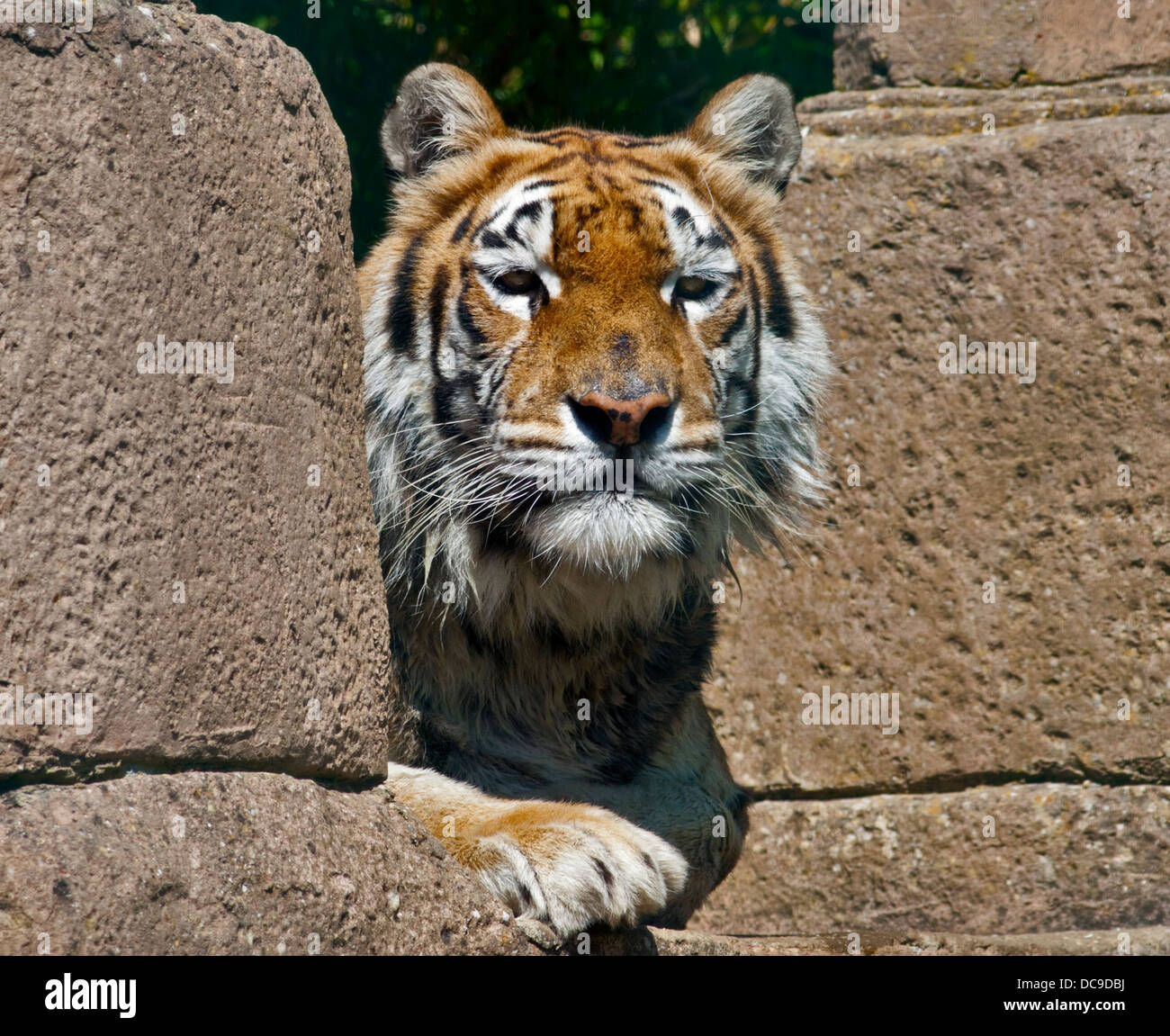 Aysha, Bengal Tiger female (panthera tigris tigris), Isle of Wight Zoo, Sandown, Isle of Wight, England - Stock Image