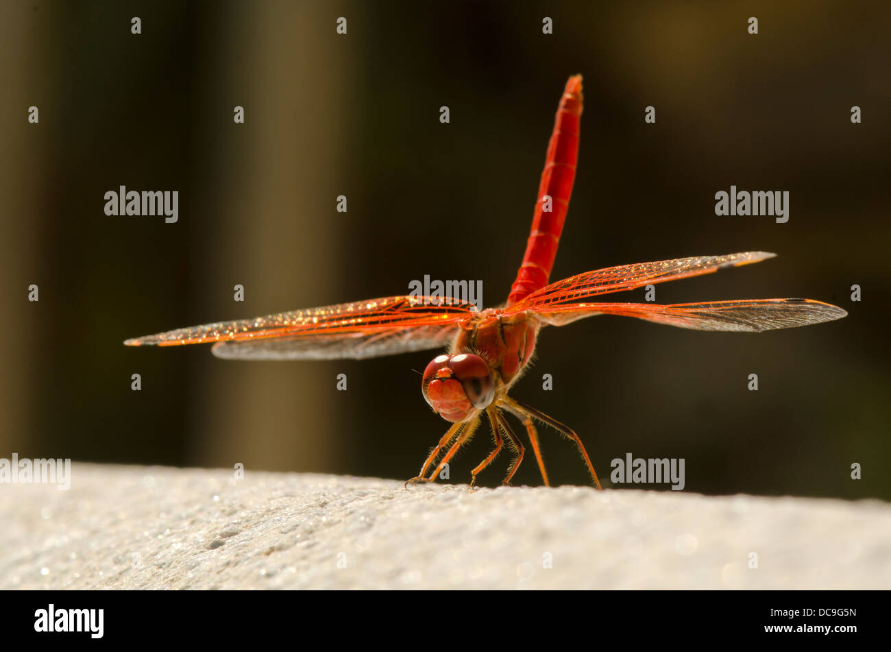 """Scarlet Darter, Crocothemis erythraea in full sun performing """"handstand"""" to minimise heat. Andalusia, Spain. Stock Photo"""