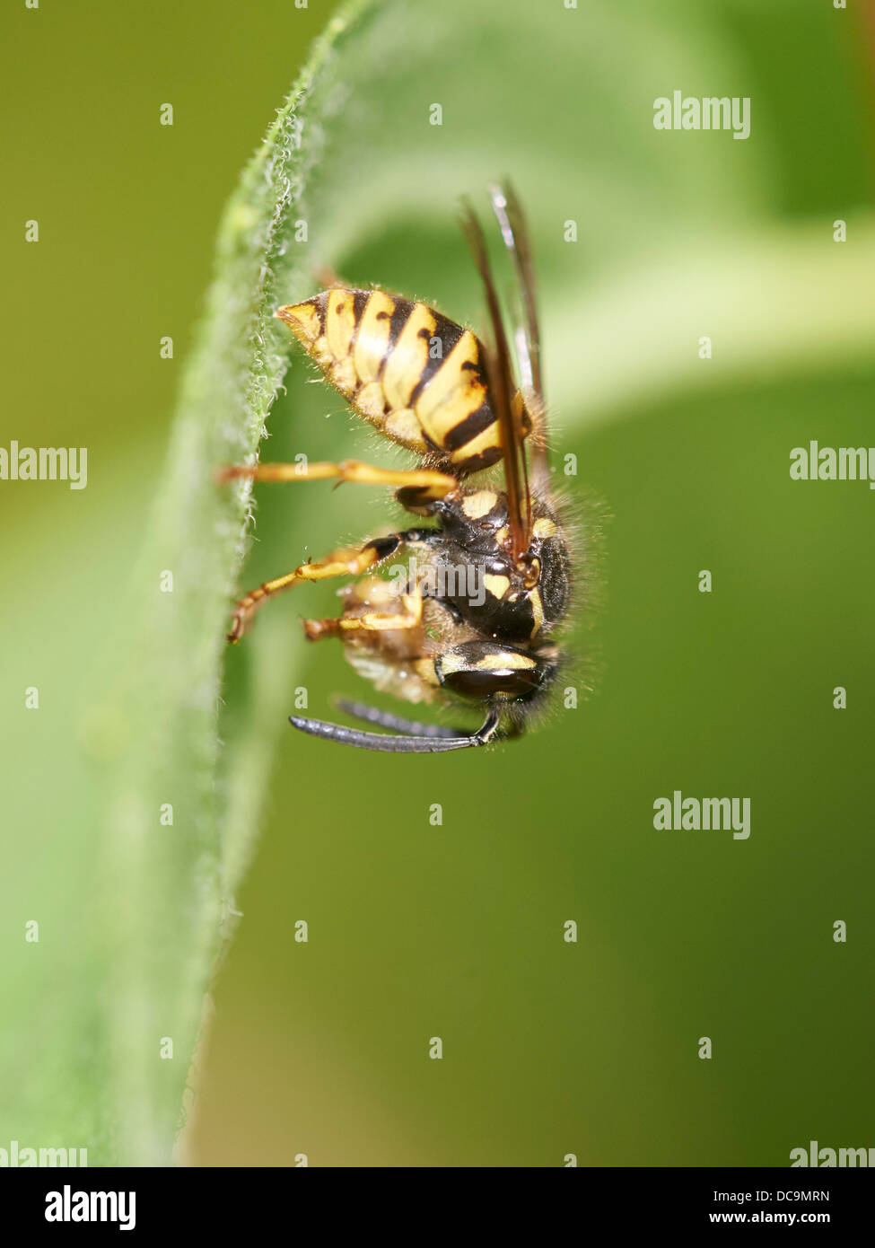 Common Wasp eating prey - Stock Image
