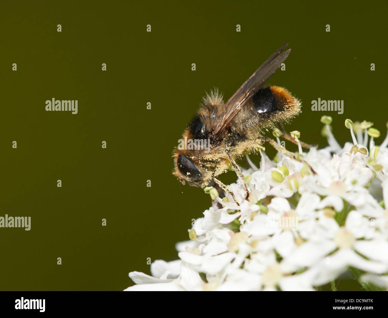 Bumblebee mimic Hoverfly feeding on nectar - Stock Image