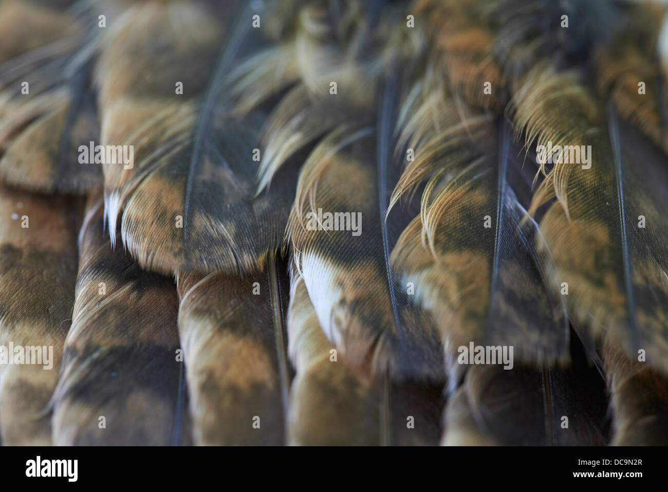 Close up of Tawny Owl feathers - Stock Image