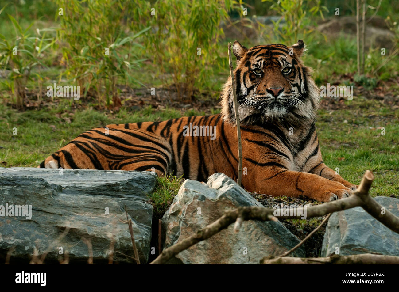 The tiger is the largest cat species, it's most recognizable feature is a pattern of dark vertical stripes on - Stock Image