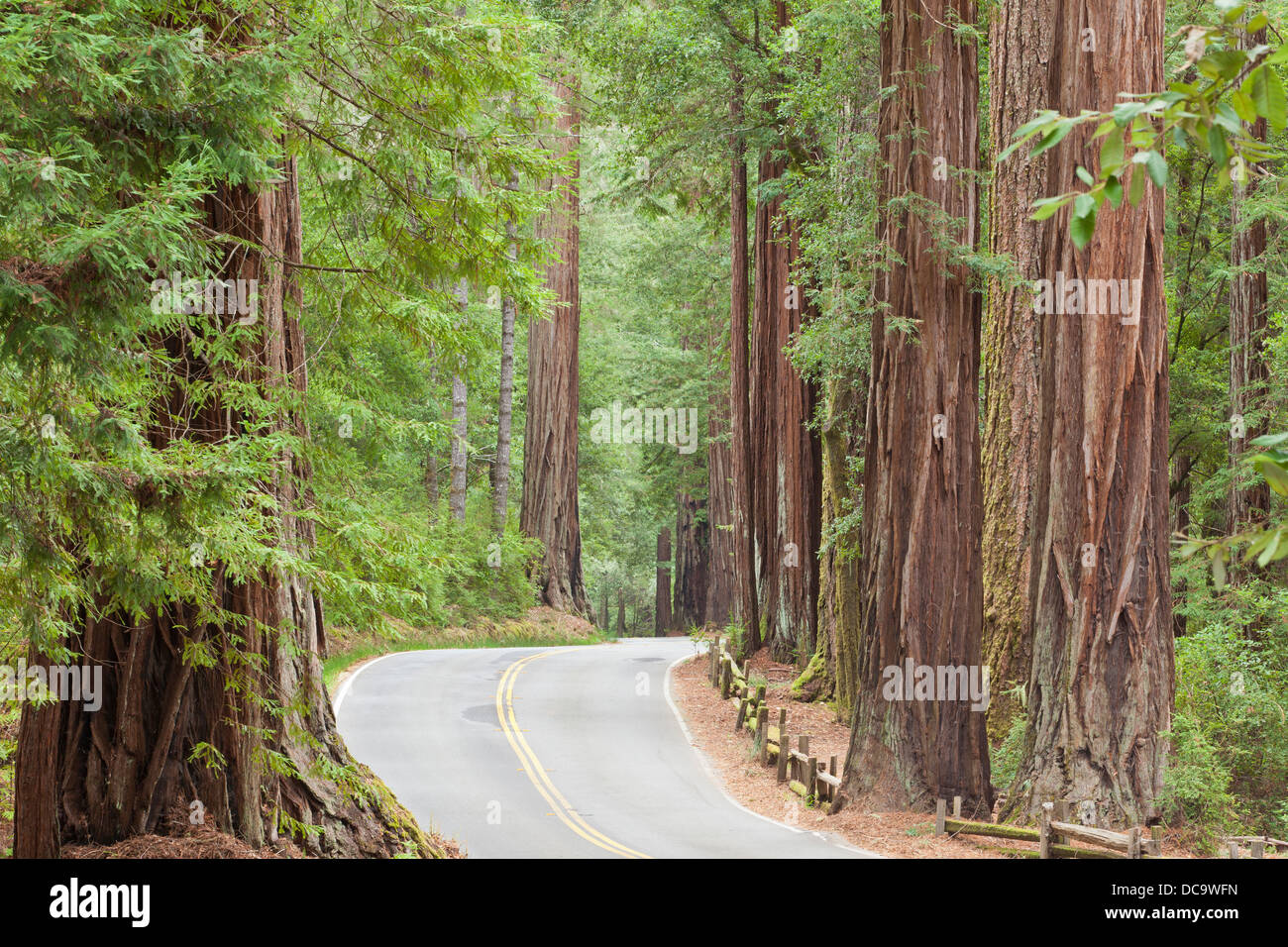 USA, California. View of road through redwoods in Big Basin Redwoods State Park. Stock Photo