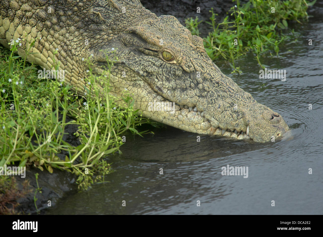 A Nile Crocodile entering the water Stock Photo