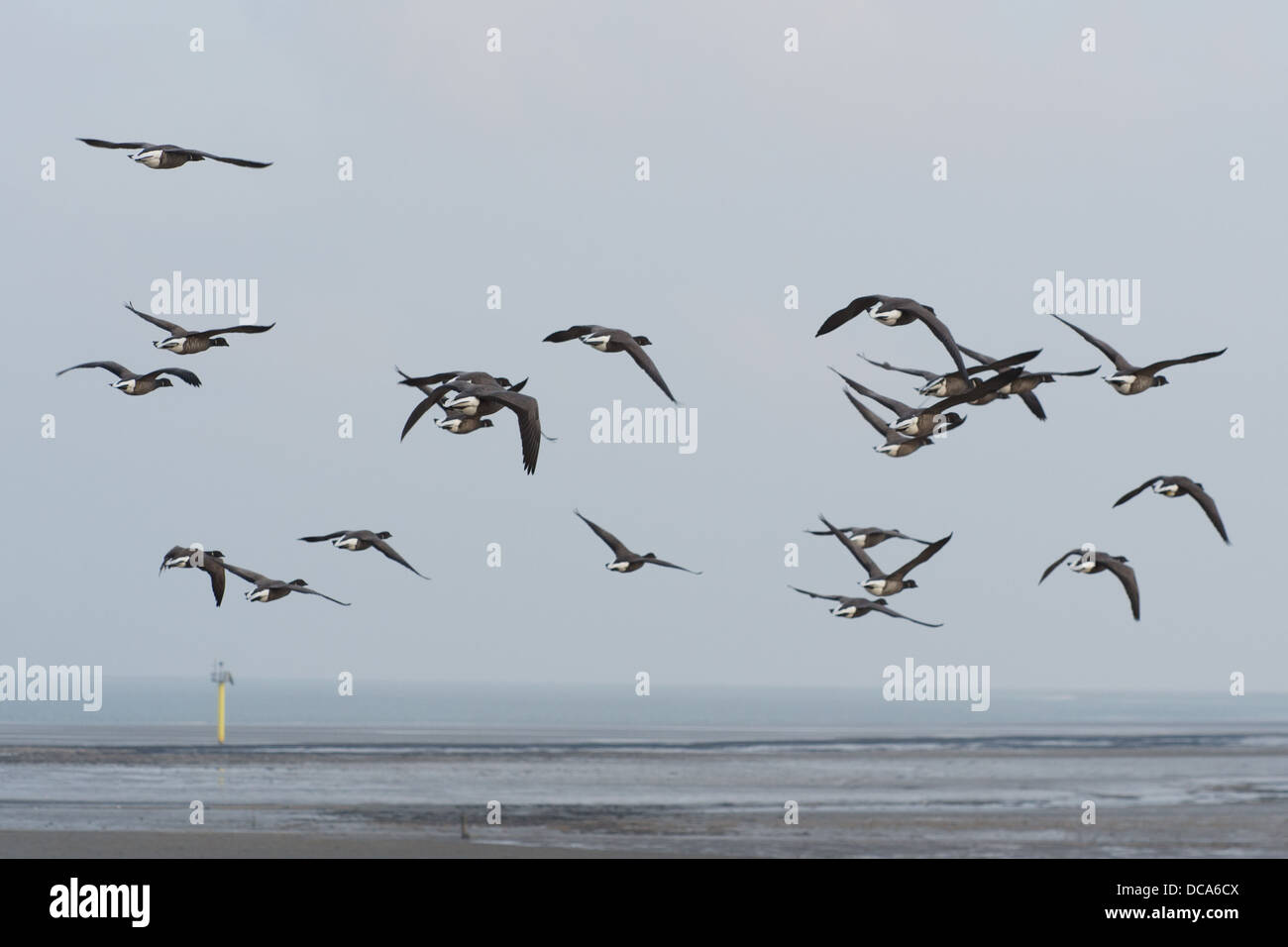 Many brent gooses flying above the wadden sea - Stock Image