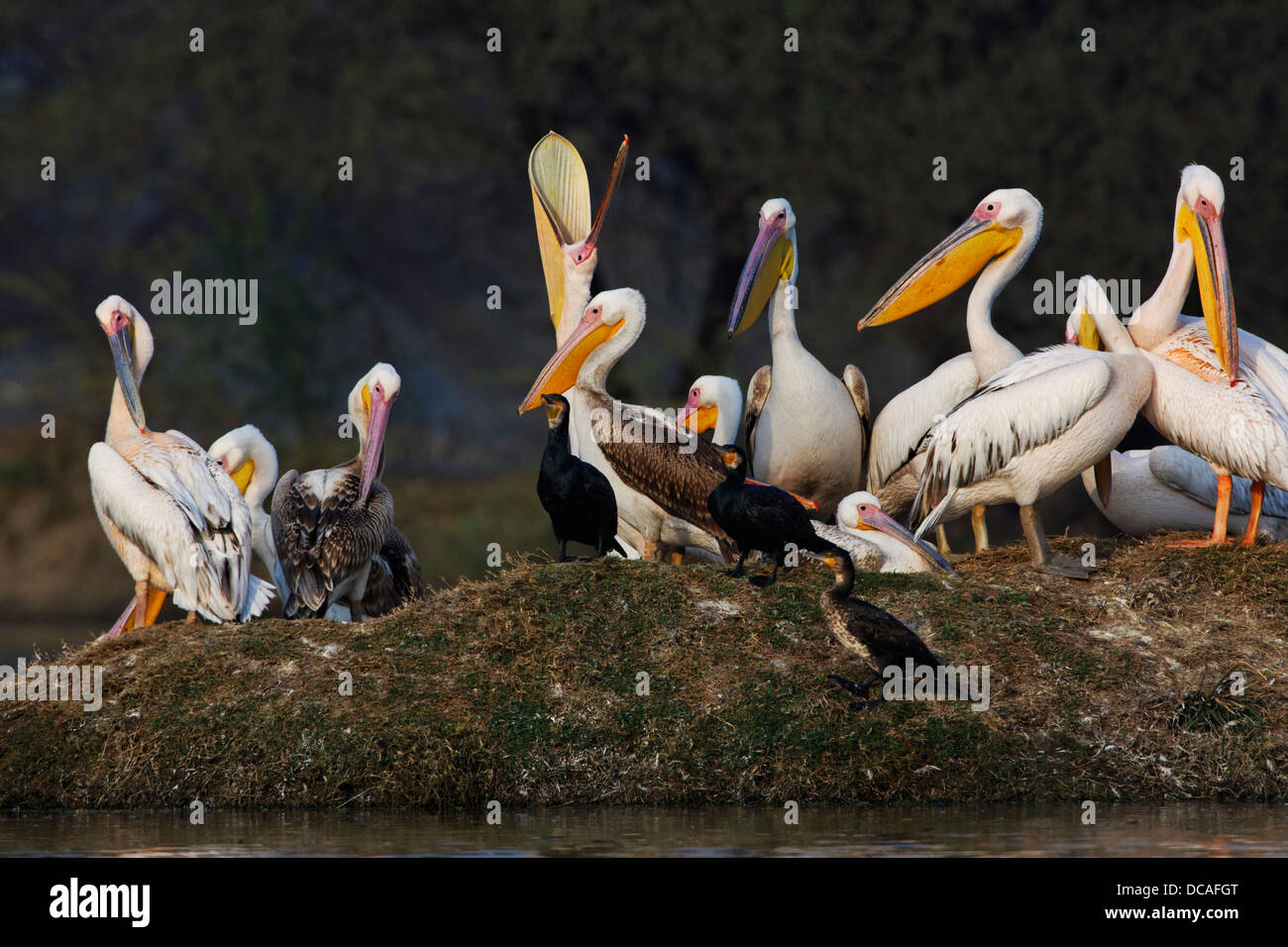 Great White Pelicans ( Pelecanus onocrotalus ) India. Stock Photo