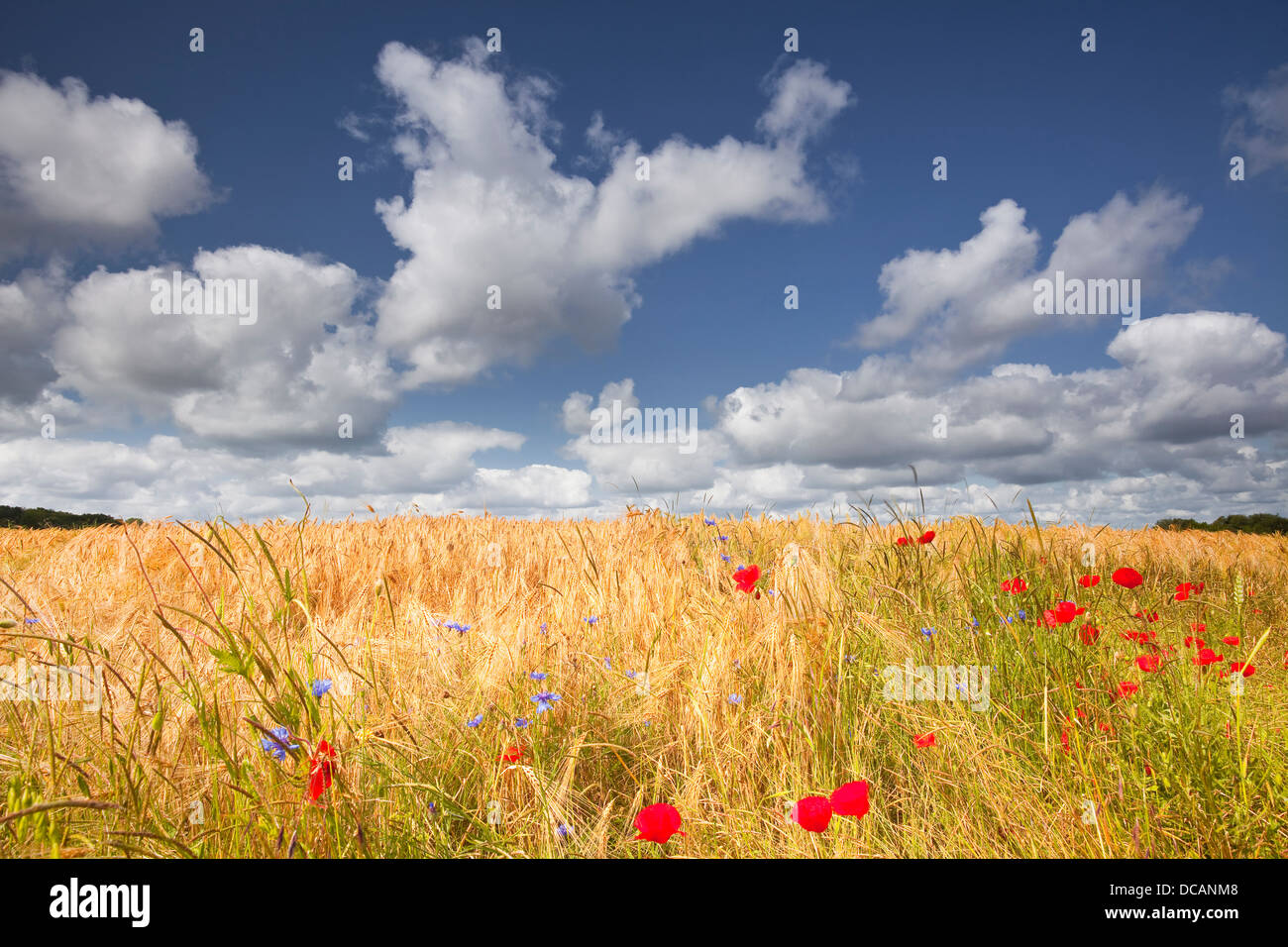 Wildflowers and poppies in a wheat field in Champagne. - Stock Image