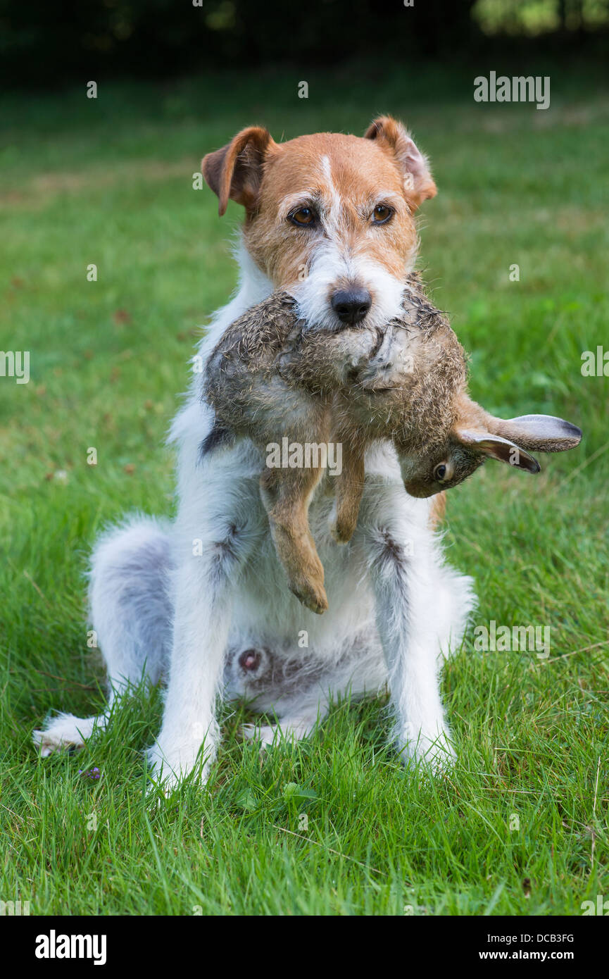Terrier Dog with Dead Rabbit in Mouth - Stock Image