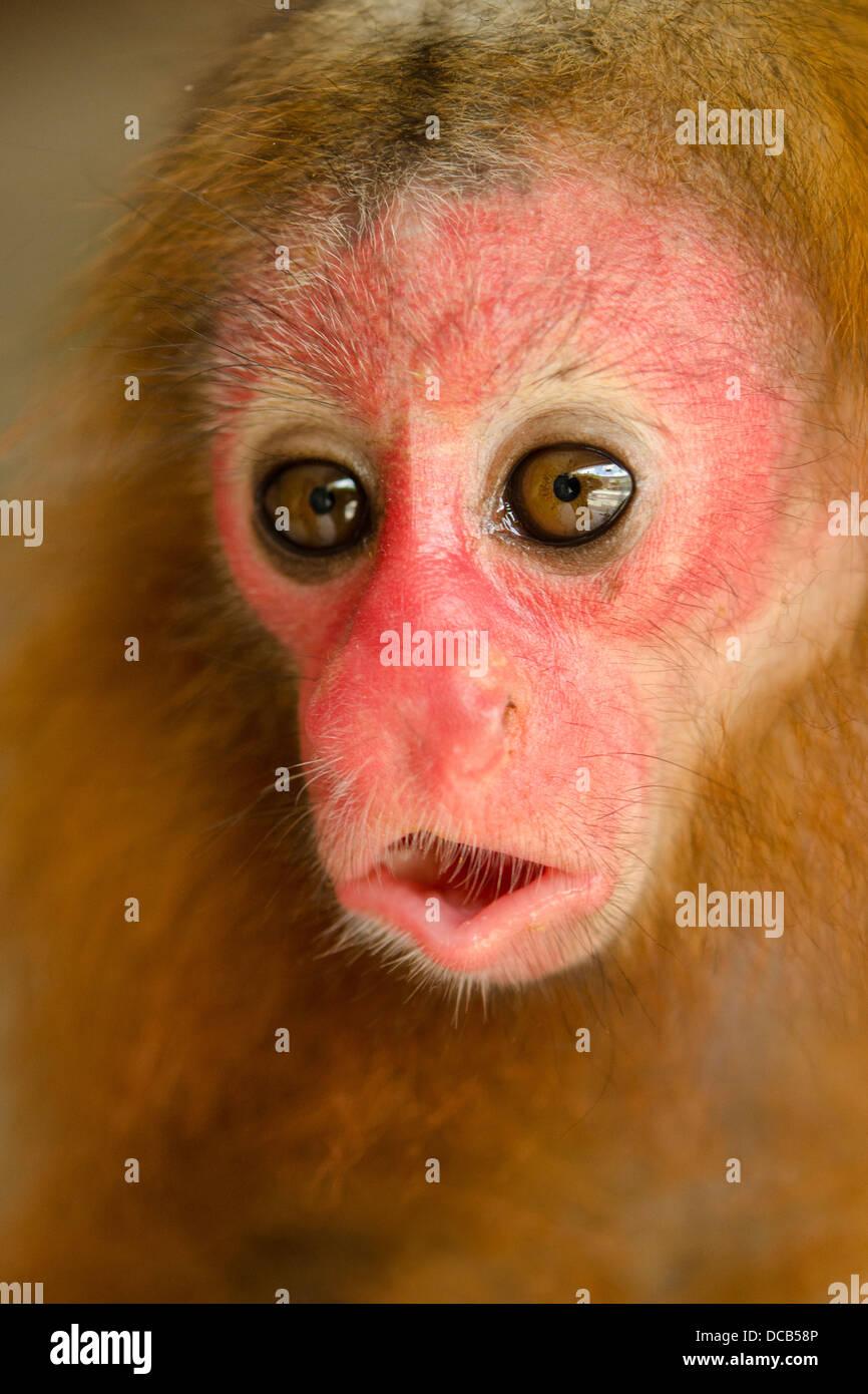 Red Uakari Monkey Cacajao calvus ucayalii young Stock Photo