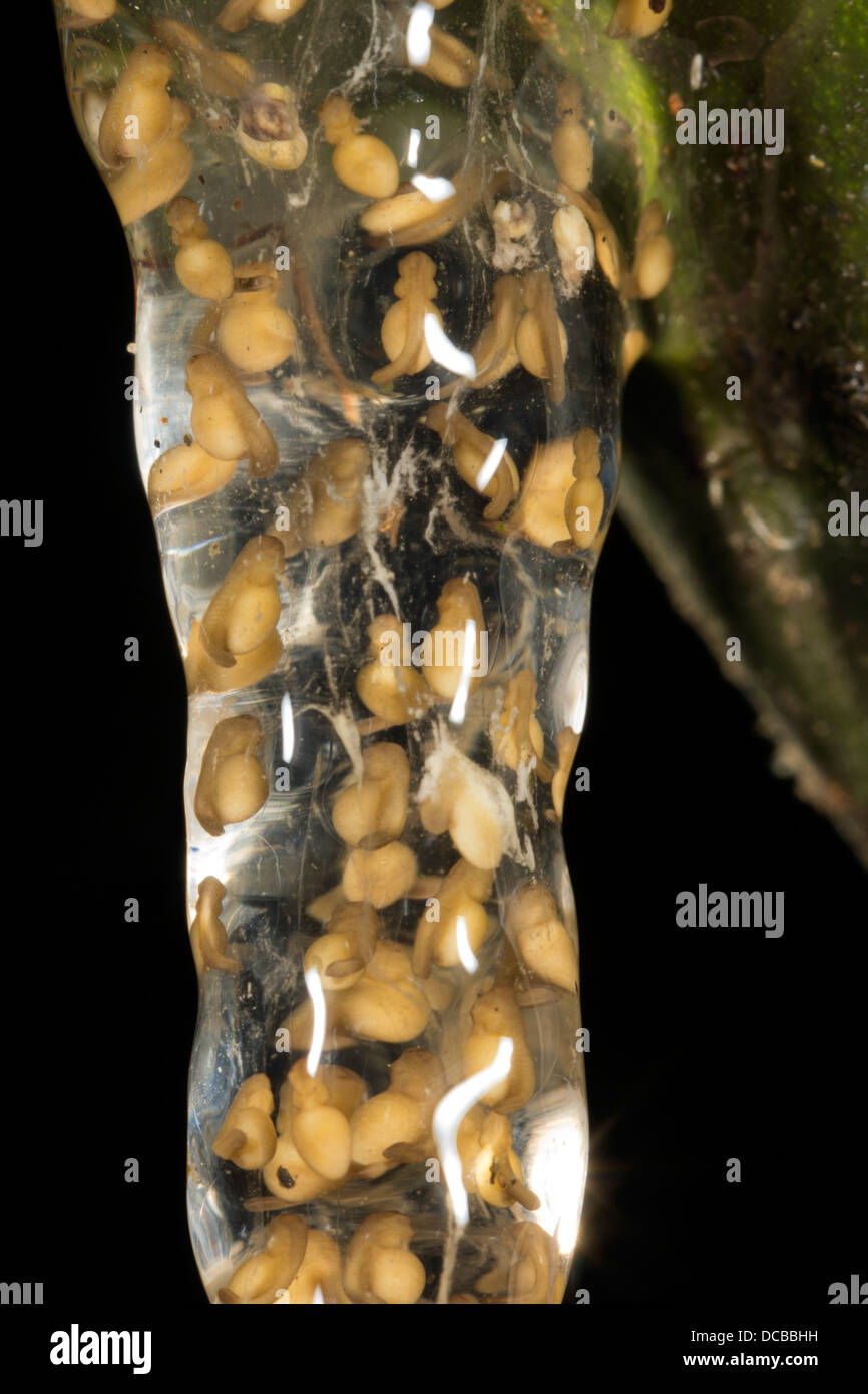Eggs of a small treefrog (Dendropsophus sp.) suspended over a rainforest pond in Ecuador - Stock Image